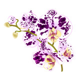 Branch orchids spotted purple and white flowers  Phalaenopsis tropical plant on a white background  vintage vector botanical illustration for design hand draw - 191243643