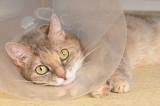 Liegende Katze mit Halskrause
