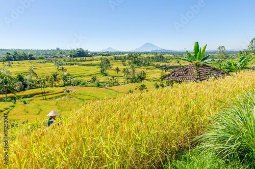 Papiers peints Bali Récolte de riz, Jatiluwih, Bali.