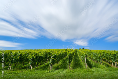 Foto op Plexiglas Wijngaard beautiful vineyards with grapes in front of lake of constance