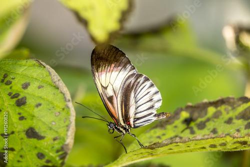 Aluminium Vlinder Heliconius Butterfly