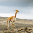 Llama is a domesticated South American camelid, widely used as a meat and pack animal by Andean cultures since the Pre-Columbian era