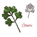 Coriander or cilantro plant sketch of spice herb - 191270678