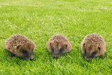 closeup of three baby hedgehogs searching for food on grass - 191275456