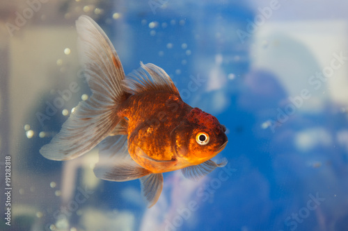 portrait-of-goldfish-in-water