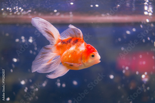 goldfish-in-aquarium-water