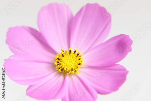 Fotobehang Purper ピンクのコスモス