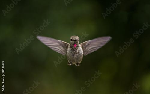 Humming ptaka głowę w powietrzu