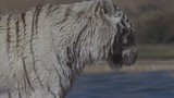 White tiger taking a swim in the zoo - 191291678