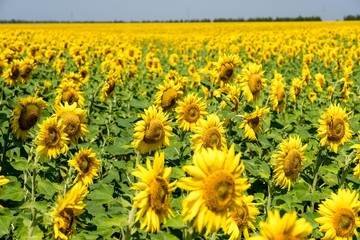 Field of sunflowers. Flowering of sunflower. Agriculture.