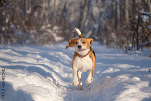 Beagle running around and playing with the winter forest