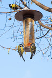 great tits on bird feeder on tree winter time - 191314048