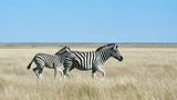 Two zebras, mom and puppy