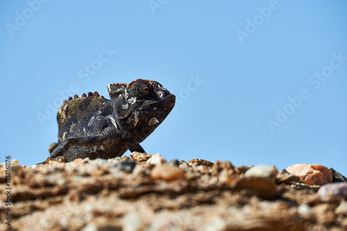 Fotobehang Kameleon Namaqua chameleon (Chamaeleo namaquensis)