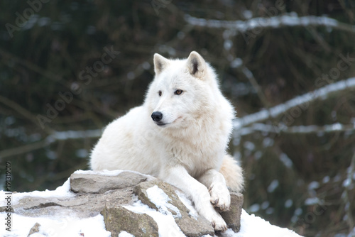 Aluminium Wolf Loup blanc 2/10