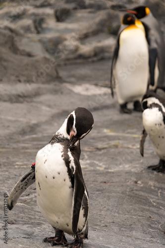 Fotobehang Antarctica A Baby Penguine