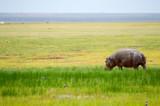 Isolated hippopotamus grazing in the savannah swamps of Amboseli Park in Kenya - 191330444