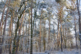 sun shines through snow covered forest trees in winter - 191332874