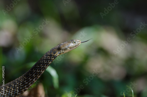 Checkered Keelback snake in forest Poster