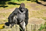 Gorilla Affe - 191347483