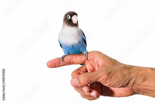Parrot lovebird sitting on hand on white background