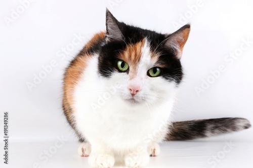 Fototapeta kleine dreifarbige Katze im Studio
