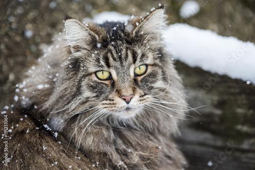 Fototapeta chat norvégiens, des forets norvégiennes sous la neige