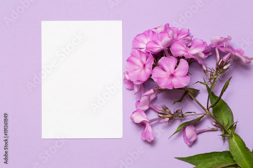White sheet of paper and inflorescence of phlox lies on a lilac background.