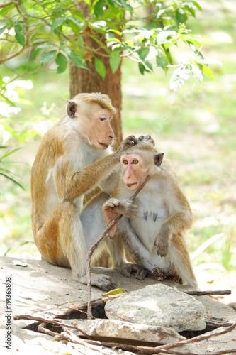 Monkeys - Sri Lanka