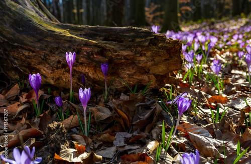 Sticker purple saffron flowers under the stump in forest