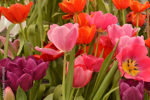 Fotobehang Tulpen Coloridos tulipanes naturales rosa naranja morado