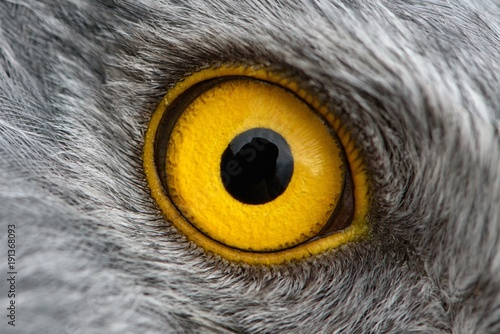 Foto Spatwand Eagle eagle eye close-up, macro photo, eye of the male Northern Harrier