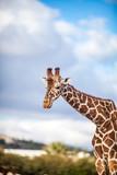 Cute Adorable Adult Giraffe, Close up - 191377479