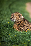 Beautiful Wild Cheetah resting on green fields, Close up - 191377812