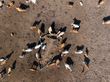 Aerial view of a herd of cattle in the afternoon sun - 191382427