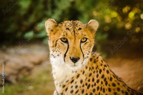 Foto Murales Cheetah (Acinonyx jubatus)