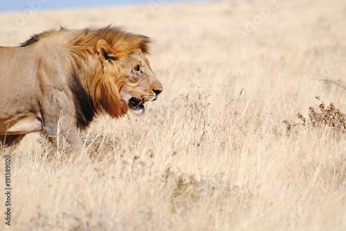 Fotobehang Lion Löwe in Namibia - Afrika