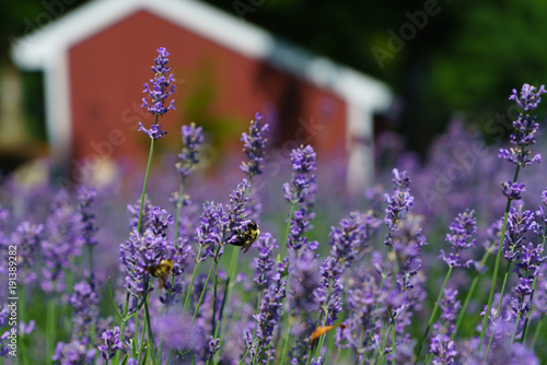 Fotobehang Lavendel Red barn in field of lavender