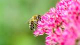 Biene auf pinkfarbener Blüte - 191390420