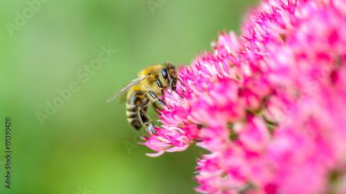 Fotobehang Bee Biene auf pinkfarbener Blüte