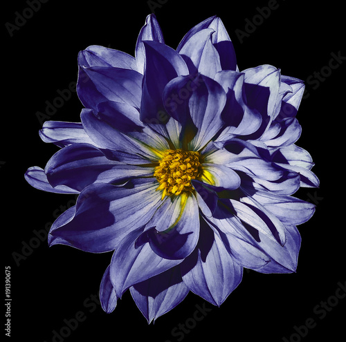 Dahlia dark blue flower on an isolated black background with clipping path. Closeup. No shadows. Nature.