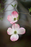 Pair of dogwood blooms - 191391460