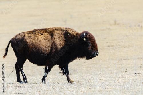 Fotobehang Bison In Serch For Greener Pasture