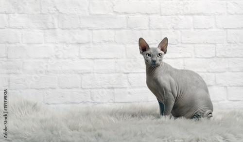 Plakat Koty Fototapeta Z Kotem Do Pokoju Na Wymiar I