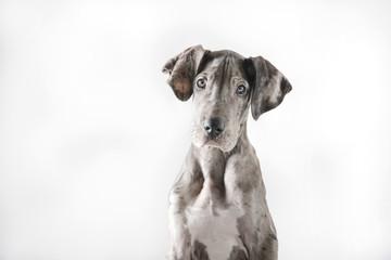Great Dane Puppy © WJ Media Design