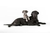 Great dane and mastiff portrait
