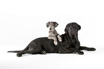 Great dane and mastiff portrait © WJ Media Design