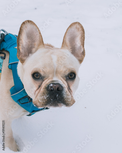 Foto op Plexiglas Franse bulldog French Bulldog in the Snow