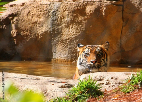 Fotobehang Tijger Tiger relaxing in the water of a pond and gazing out