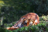 tiger gazing out from a grassy spot, posing in a relaxed manner artistic green background